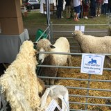 Cotswold Lion sheep on display from Jonty and Mel Brunyee of Conygree Farm